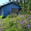 紫の花と青い家