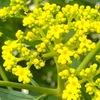 オミナエシが咲き始めました(一昨年7月5日のブログでも同じ書き出し) .  秋の七草の一つ,そして, おみなえしづき(女郎花月)は陰暦7月(新暦では7月下旬から9月上旬ごろ)とのことですが----  我が家では,例年,7月から9月までが開花時期.小さな花にいろいろな虫をがやってきます.// 同じマツムシソウ目スイカズラ科の花の画像を集めてみました.