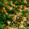 夕日に染まる白い花 今日に咲いては明日に散る