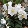 【冬に花が咲く】寒さ・暑さに強い常緑植物 庭木を紹介