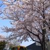 桜*さんぽみち