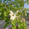 季節の花ジョギング ~万石のハナミズキ~