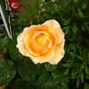 我が家のバラ達🌹