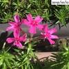 #11 シバザクラ 季節外れの花が咲く