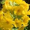 手間いらずで晩秋〜春の花壇が華やぐ! ガーデンプリムラ・アラカルトシュシュ