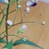 かすみ草という花