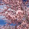 4/9(日)お花見会、やります♪旅や楽しいこと好きな人、集まれー^^