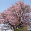 ソメイヨシノ:自然と不自然