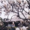 秋篠寺のモクレン(3月中旬~下旬)