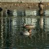 冬鳥(手前からホシハジロ雌、マガモ雌、オオバン)