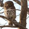 ヨコジマスズメフクロウ(African Barred Owlet)