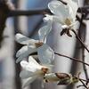 ハクモクレンと枝垂桜