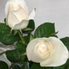 【229】白い薔薇