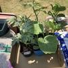 ピーマンと大葉を定植しました