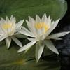 大覚寺のスイレン、見ごろと開花情報。