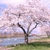 青森県十和田市の桜は今が見頃です。