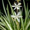 オリヅルランの花 2013