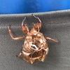 (紹介:自然)新宿中央公園付近で多数の蝉の抜け殻見つけたよ