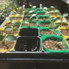 育苗中の苗とジャガイモ