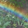 小さい虹と山紫陽花と