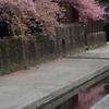 淀水路の河津桜はまさに見頃