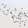 谷津干潟を飛ぶハマシギの群れ