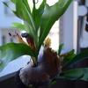 ビカクシダ成長記録。胞子葉もぐんぐん成長しております!