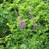乗鞍高原の植物(その2・ヤナギラン、ホタルブクロ、ニッコウキスゲなど)