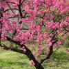 鮮やかすぎる花桃