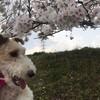 いよいよ桜の季節ですね