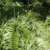トピックス(8)Gleichenia japonica(ウラジロ)とズールーの概念