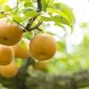 フレッシュな梨を使った本格カクテルのレシピ5種を紹介します