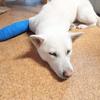 犬生(人生?)で初めての本格的な負傷