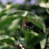 ナガコガネグモのペア
