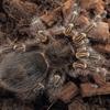 【タランチュラ】Grammostola pulchripes チャコジャイアントゴールデンストライプニー
