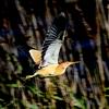 印旛沼のヨシゴイ飛翔2
