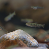 アマゴ Oncorhynchus masou ishikawae (アマゴ受精卵 2013.02.13)