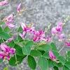 ショウブは菖蒲ではない.アジサイは紫陽花でない.それから,ハギも萩ではない.---草や花や樹の漢名は,人がその名で,何を胸底に畳んできたか, 記憶の名,長田弘「花の名を教えてくれた人」