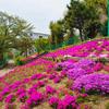 【シバザクラ】八幡市の『芝桜の郷』が満開で見ごろ。男山第2住宅の住民が手入れで毎年見事。
