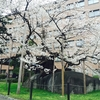 まるで天然の盆栽!裁判所内にたたずむ天然記念物「石割桜」(岩手・盛岡)