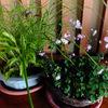 山野草ツクシカラマツの花 & アパート夏花壇
