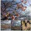 三寒四温を絵に描いたように季節の移ろいが、春を待ち遠しく感じさせますね