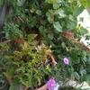 ベランダ菜園(ジャングル)