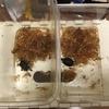 トウブドロガメ、子亀成長記 2