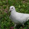不忍池の白鳩