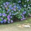 今日からうさぎ島(大久野島)です、紫陽花の頃です