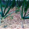 玉ねぎ栽培。4月の進捗。さらに太くなってきました。