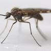 蚊とは違う!オーストラリアの凶悪害虫「ミジー」に刺されたときの対処法