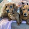 犬の多頭飼い暮らし日記:「むーちゃんが遊びに来た!でも……」※更新あり
