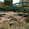 桜、桜木町、桜川